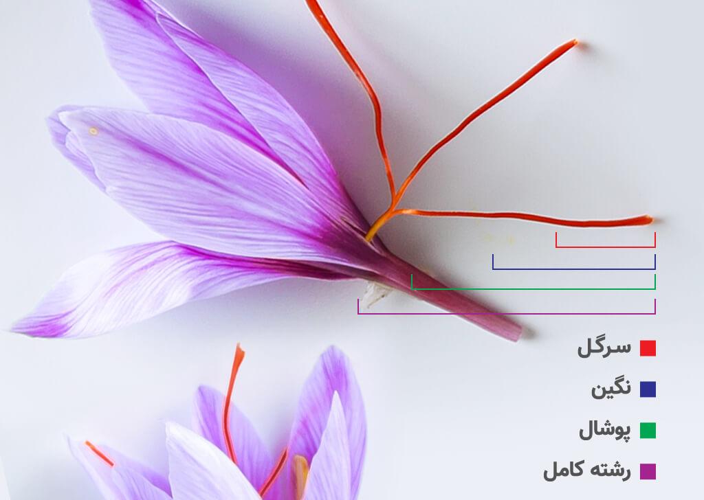 قسمت های مختلف گیاه زعفران